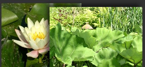Jardin la grenouillere de fran oise lacaze aux essarts le for Japonais rambouillet